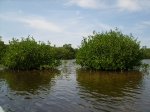 Mangroves at Northern Caye