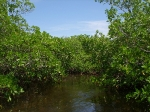 Northern Caye mangroves