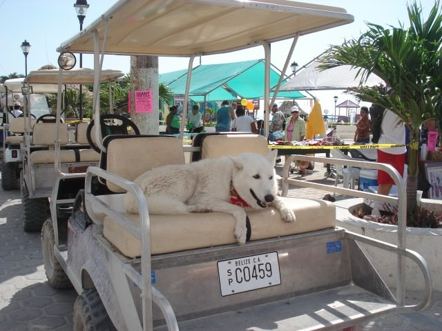 White dog on golf cart