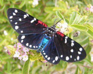 Faithful Beauty (Composia fidelissima)