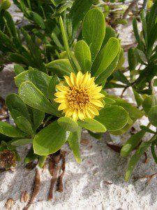Sea Daisy (Borrichia arborescens)