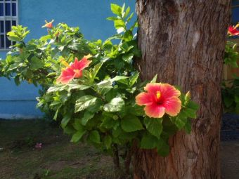 hibiscus flowers of belize