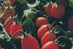 sol farms belize foods