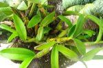 orchid garden belize