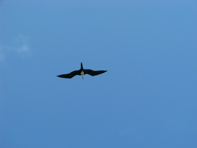 Frigate bird belize wildlife pictures