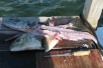 san pedro fish