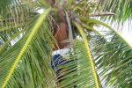 coconut tree picture