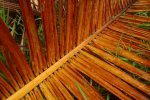 palm leaf belize