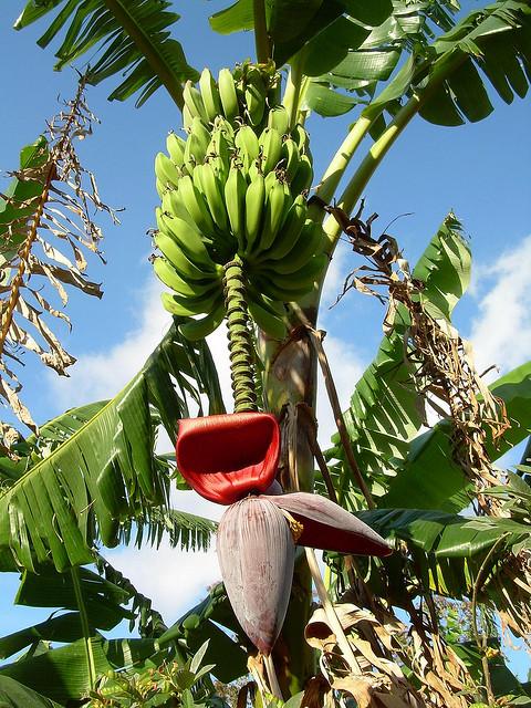 banana tree - photo #37