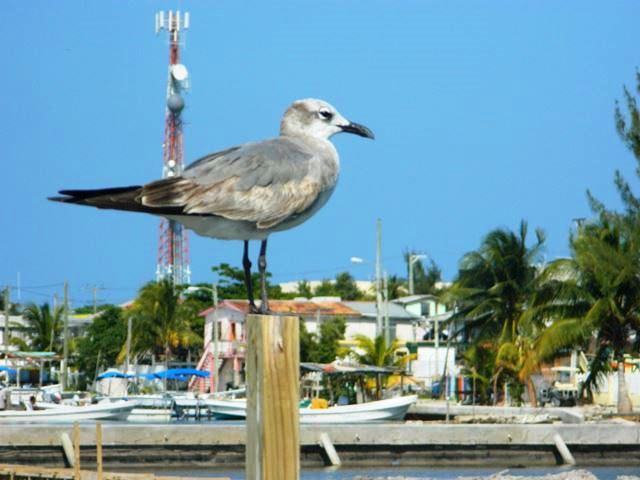 belize bird